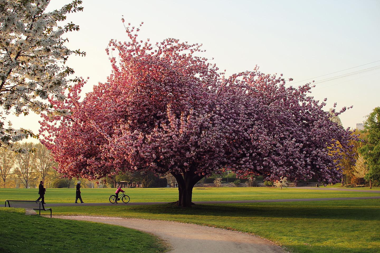 Õhtu lemmikpilt. Need klõpsud on ikka ägedad, kui juhuslikult tuleb pildile mingi sobiv detail juurde, mida esialgu ei plaaninudki jäädvustada. Pildistad parasjagu roosat puud ning sel hetkel ilmub juhuslikult kaadrisse laps, kes on juhuslikult pannud kodus selga roosa jaki, seisatab juhuslikult puu all sobivas kohas ning jääb pea kuklas puud vaatama.