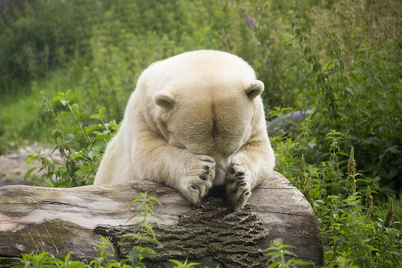 """Rääkisime kohalikule jääkarule, et mis oludes tema saatusekaaslane Tallinna loomaaias elama peab. Saksa asukas ei suutnud seda uskuda, võttis käppadega peast kinni ning möirgas """"Ach du Scheiße!"""""""